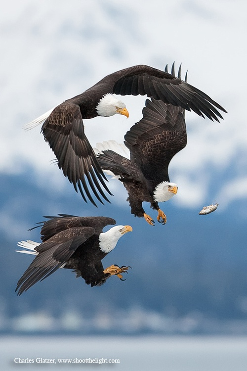 Bald eagles going after a dropped fish