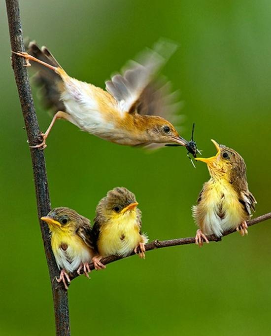 mother-bird-feeding-babies
