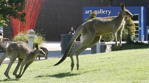 usc-campus-kangaroo