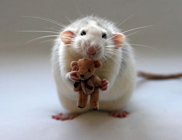 rat13