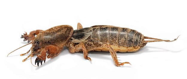 7. Mole crickets – þessar krybbur eru bara ófrýnilegar