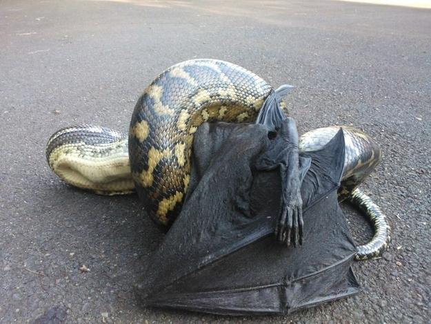 17. Pythons – Slöngur sem borða nánast allt