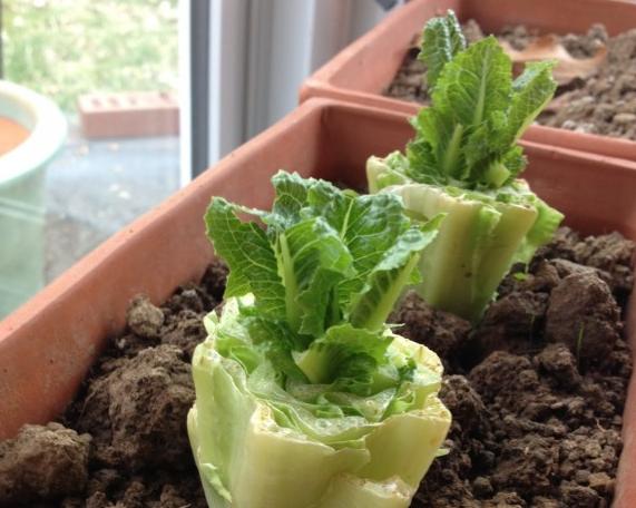 romaine-salat