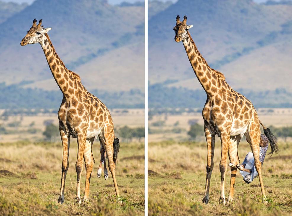 giraffebirth-wcth03_2