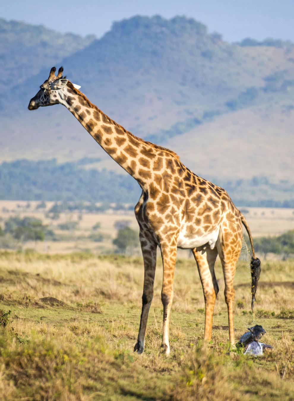 giraffebirth-wcth04