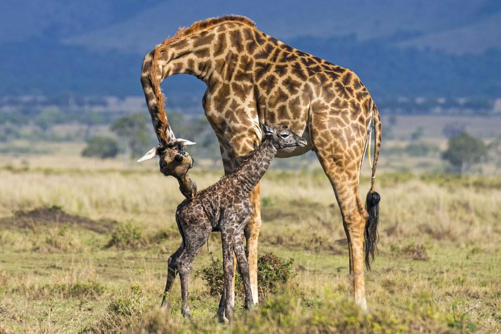giraffebirth-wcth08