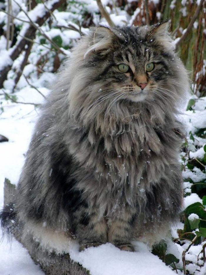 Norwegian-Forest-Cat-__700