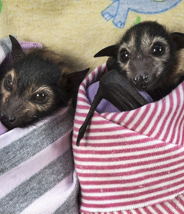 abandoned-baby-bat-pup-tolga-bat-hospital-12