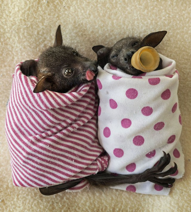 abandoned-baby-bat-pup-tolga-bat-hospital-16