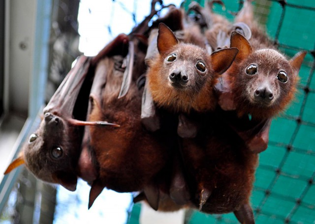 abandoned-baby-bat-pup-tolga-bat-hospital-19