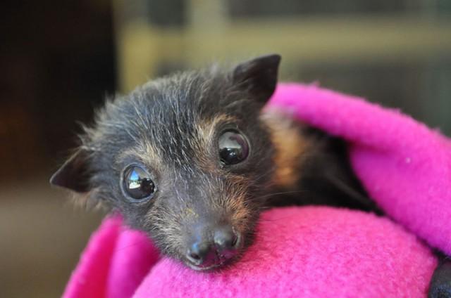 abandoned-baby-bat-pup-tolga-bat-hospital-20