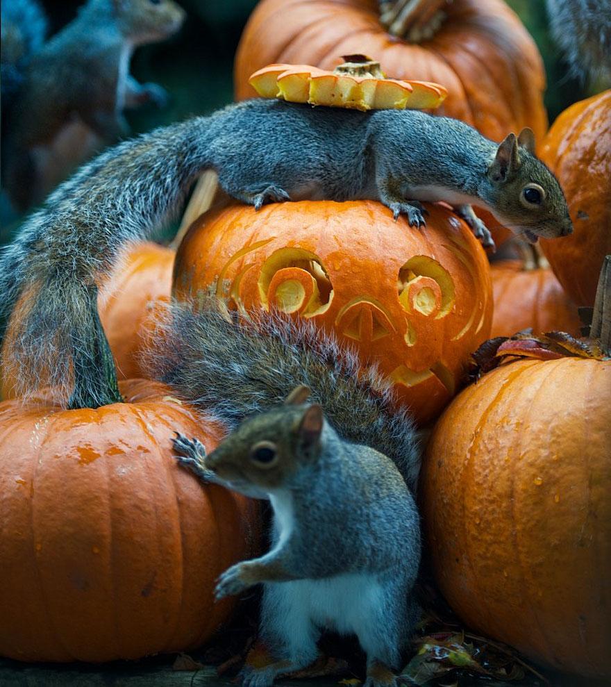 squirrel-steals-carved-pumpkin-max-ellis-2