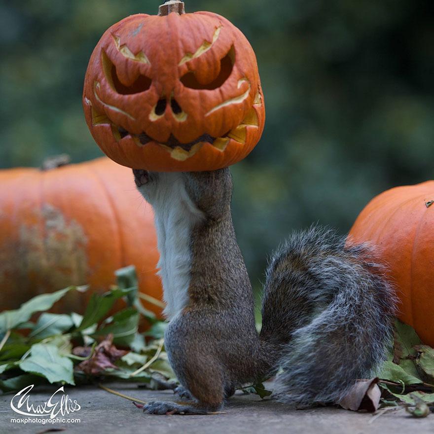 squirrel-steals-carved-pumpkin-max-ellis-3