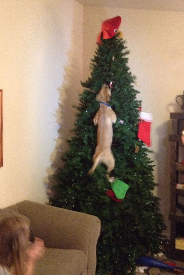 Dog Jumped In Christmas Tree After Cat