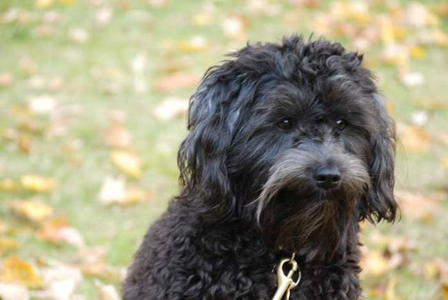 13.) Schnoodle