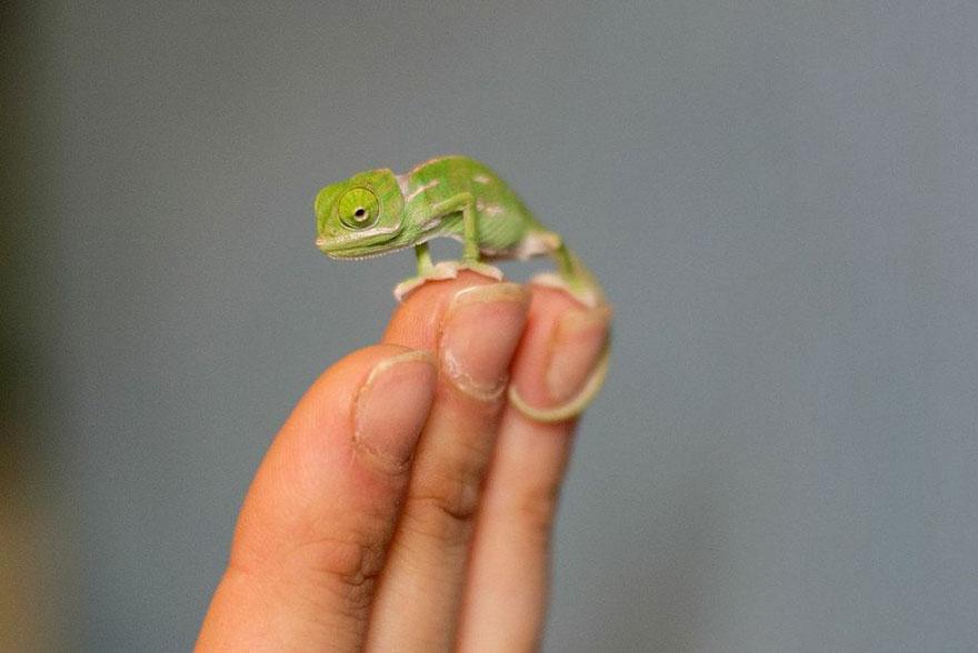cute-baby-chameleons-hatch-taronga-zoo-sydney-11