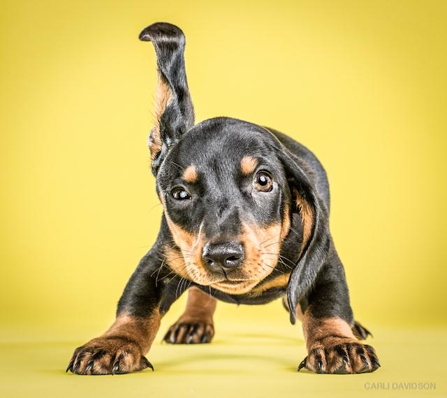 Shake+Puppies-4Dachshund