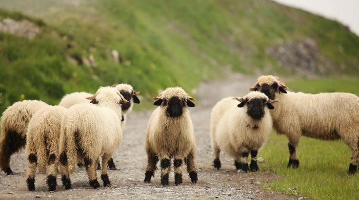 Valais-blacknose-sheep-21-5810a87556798__700