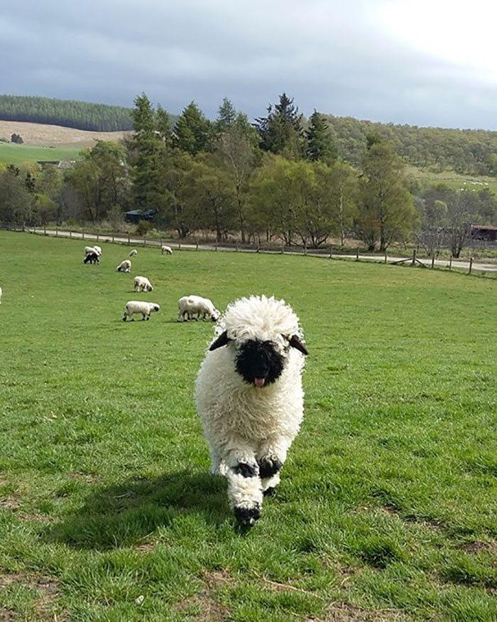 Valais-blacknose-sheep-29-5810a88c9b5bd__700