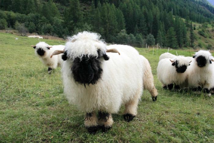 Valais-blacknose-sheep-4-5810a84a62af5-png__700