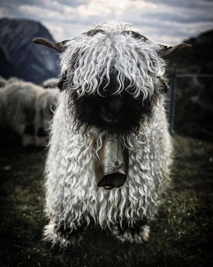 Valais-blacknose-sheep-7-5810a85291282__700