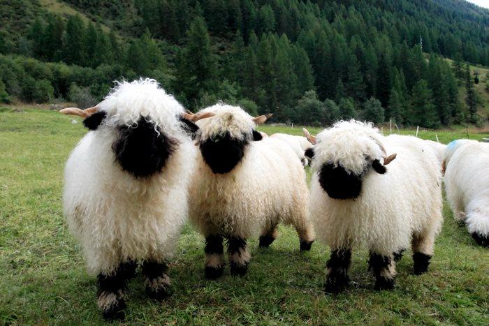 Valais-blacknose-sheep-9-5810a858884be__700