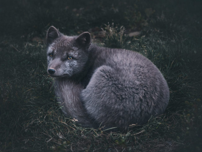 We met this lovely arctic fox while hiking in the Westfjords.